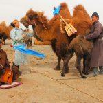 شتر مغولستان